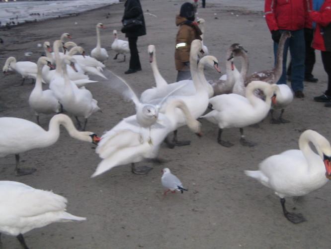 дикие лебеди...дикие лебеди
